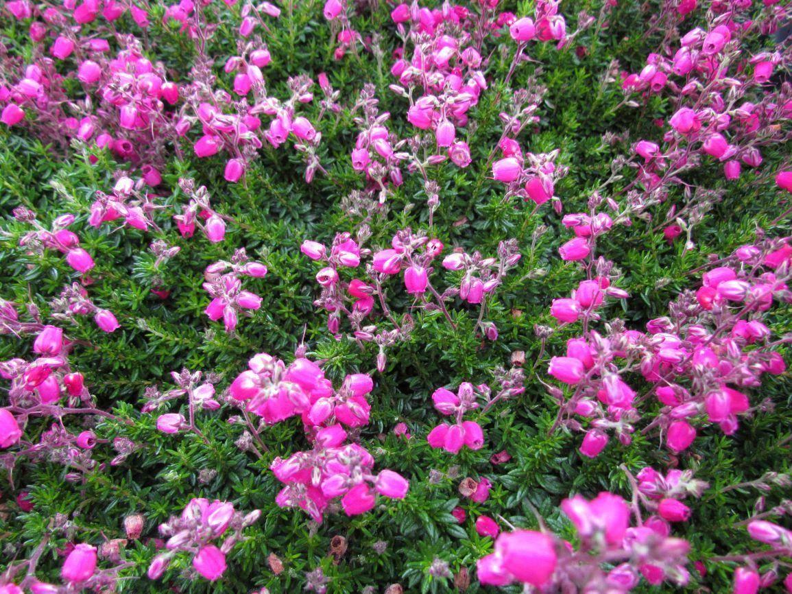 Roze Ierse heide Daboecia cantabrica
