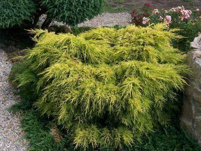 Jeneverbes Juniperus media 'Gold Star'