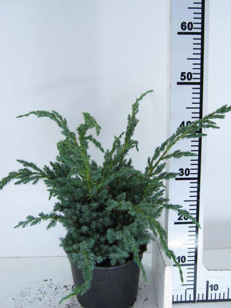 Jeneverbes Juniperus squamata 'Meyeri'