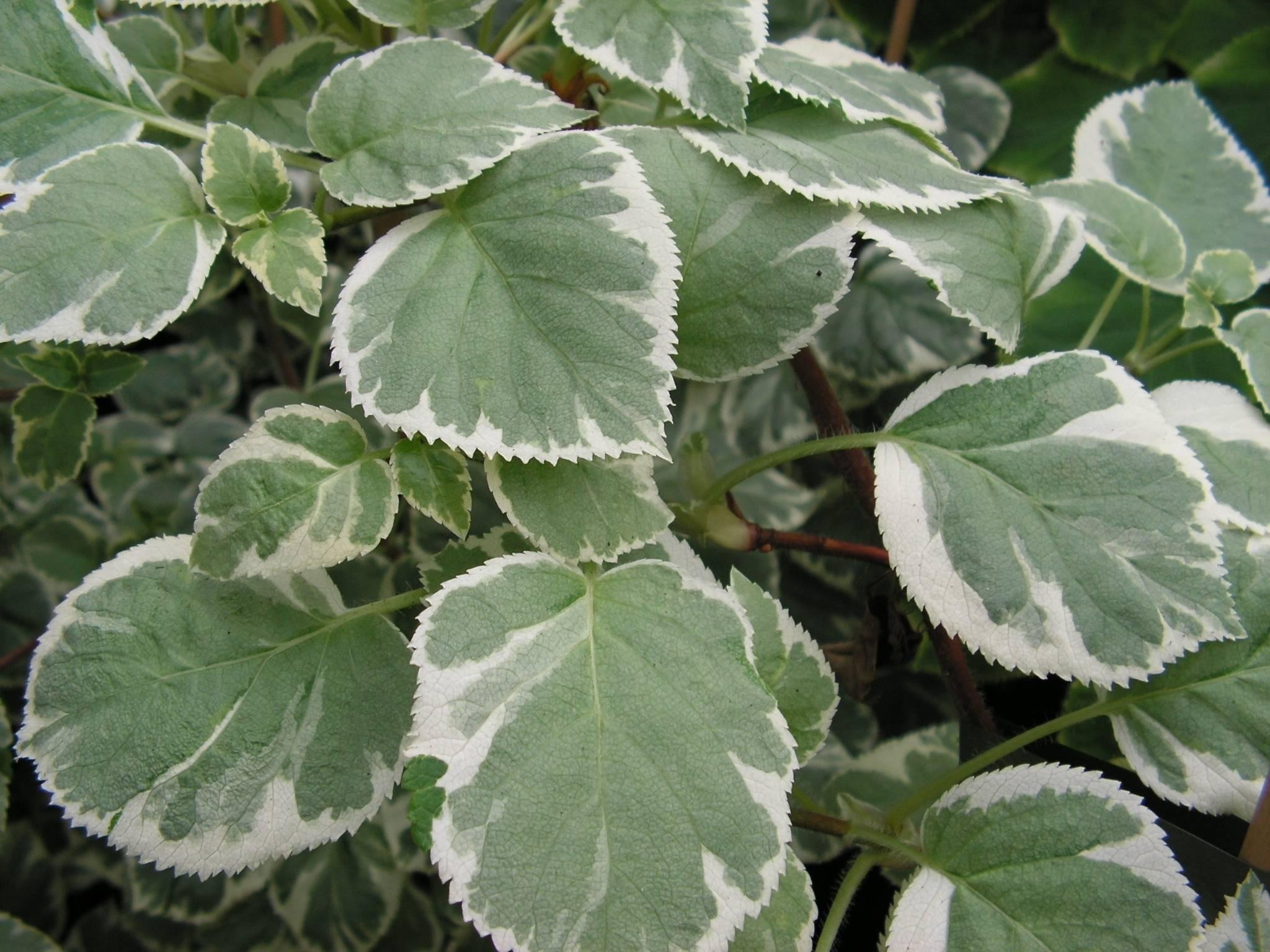 Klimhortensia Hydrangea petiolaris 'Silver Lining'