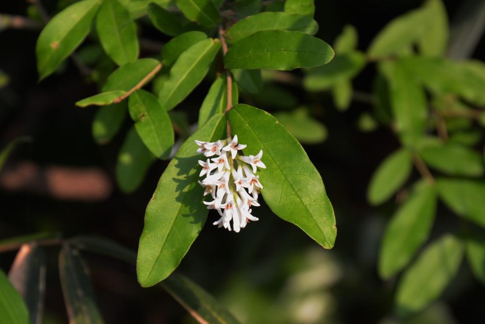 Liguster op stam Ligustrum japonicum