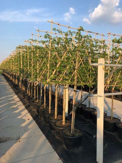Dikke Lei-kersenboom Prunus avium 'Regina'