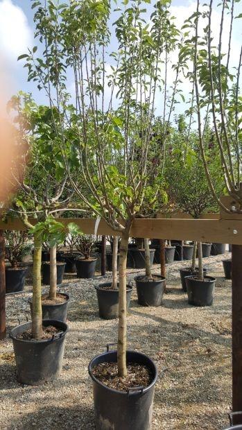 Halfstam dikke Appelboom Malus domestica 'Ecolette'