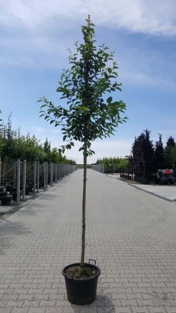 Hoogstam dikke Appelboom Malus domestica 'Bloemeezoet'