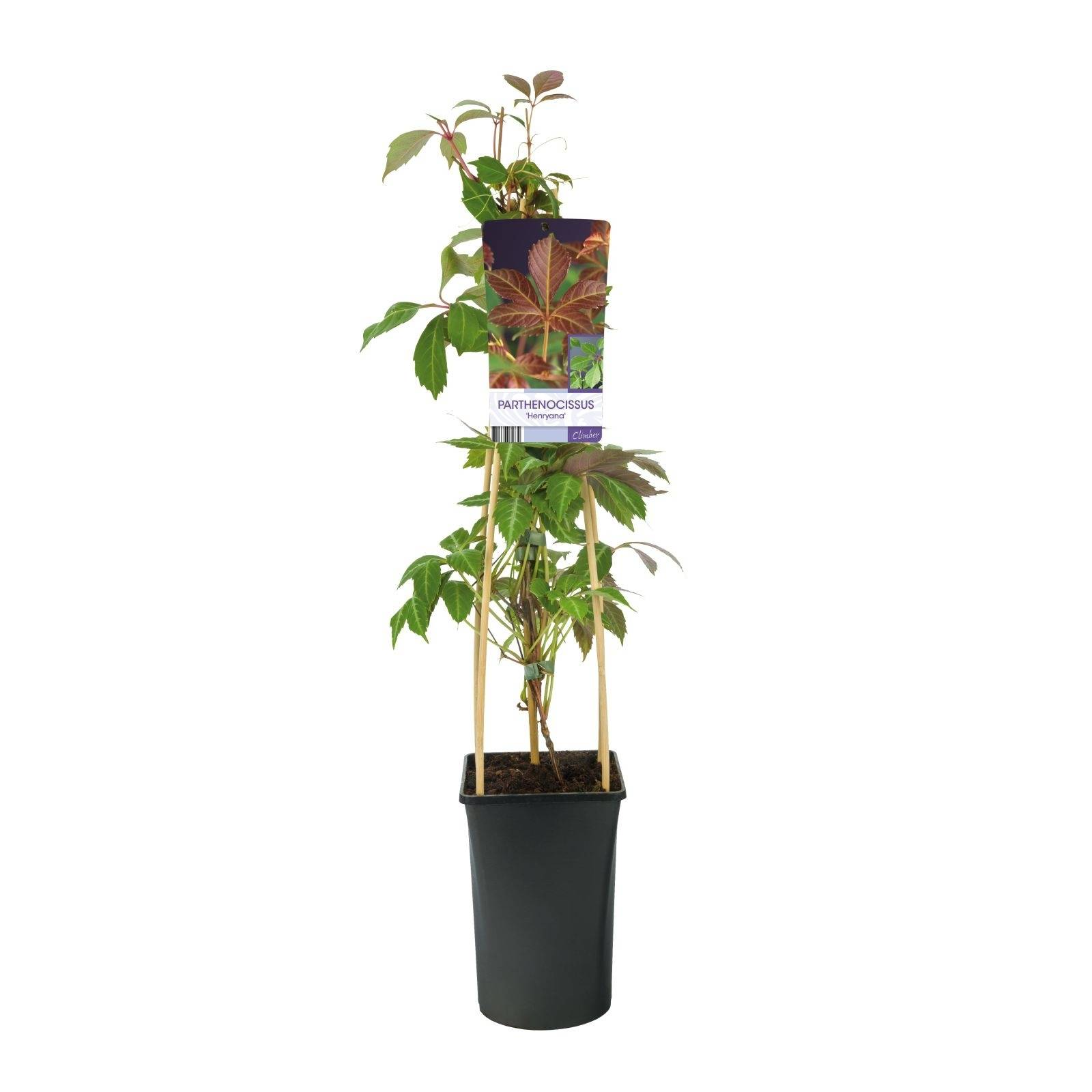 Wilde wingerd Parthenocissus 'Henryana'