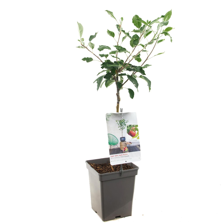 Patio appelboom Malus domestica Braeburn patio appelboom