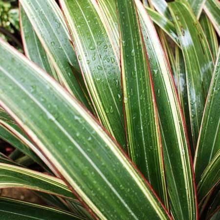 Phormium Phormium cookianum 'Tricolor'