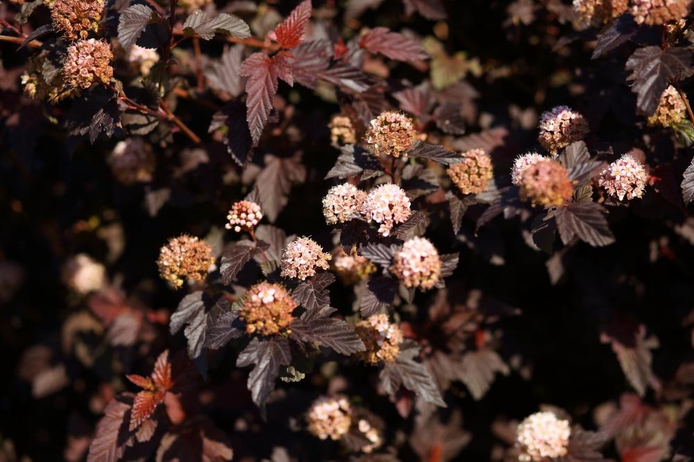 Blaasspirea op stam Physocarpus opulifolius Lady in Red