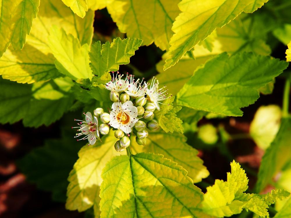 Blaasspirea op stam Physocarpus opulifolius Luteus