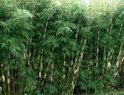 Niet woekerende bamboe Fargesia robusta 'Pingwu'
