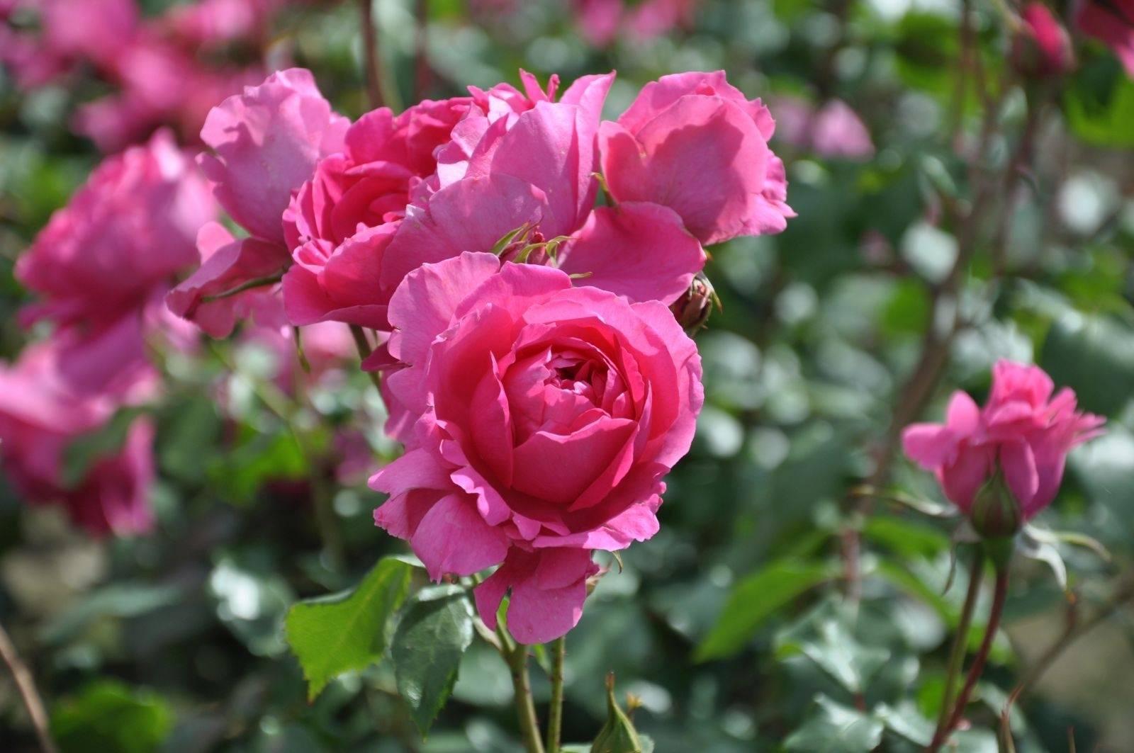 Roze Klimroos Rosa 'Pink Cloud'
