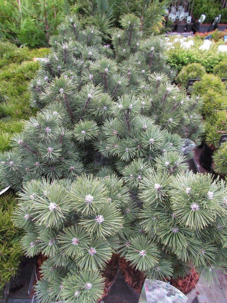 Bergden Pinus mugo 'Columbo'
