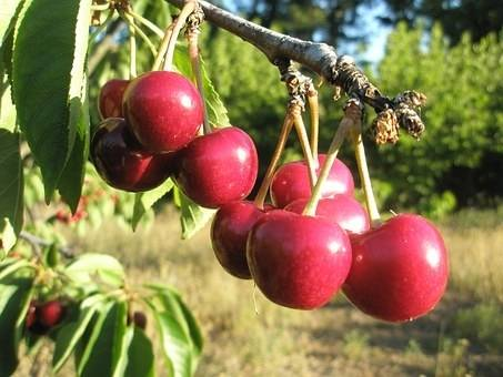 Kersenboom Prunus avium 'Fruhe Meckenheimer'