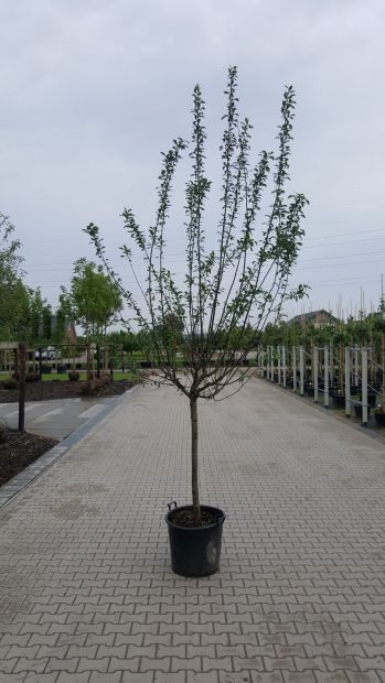 Halfstam dikke Abrikozenboom Prunus armeniaca 'Hongaarse