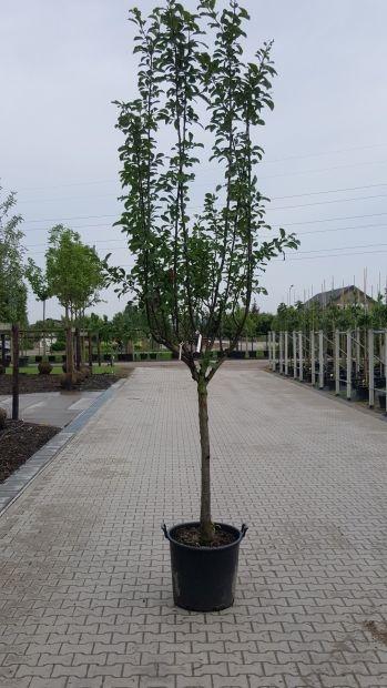 Halfstam dikke Pruimenboom Prunus domestica 'Hauszwetsche'