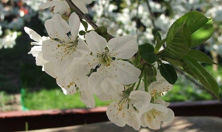 Bol-prunus op stam Prunus eminens 'Umbraculifera' stam