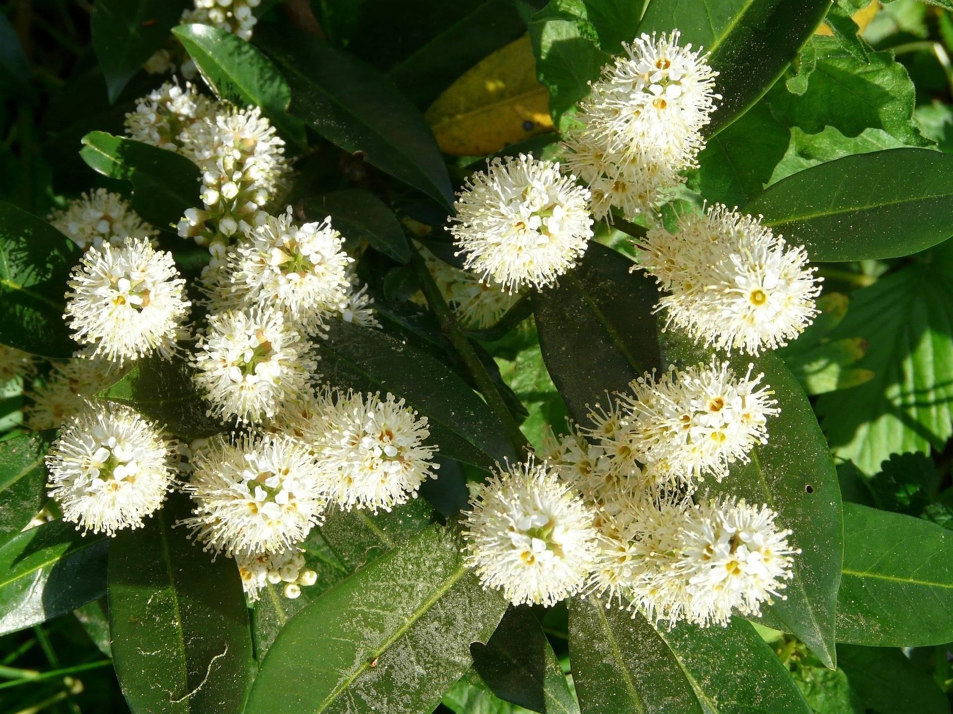 Laurierboom op stam Prunus laurocerasus Otto luyken