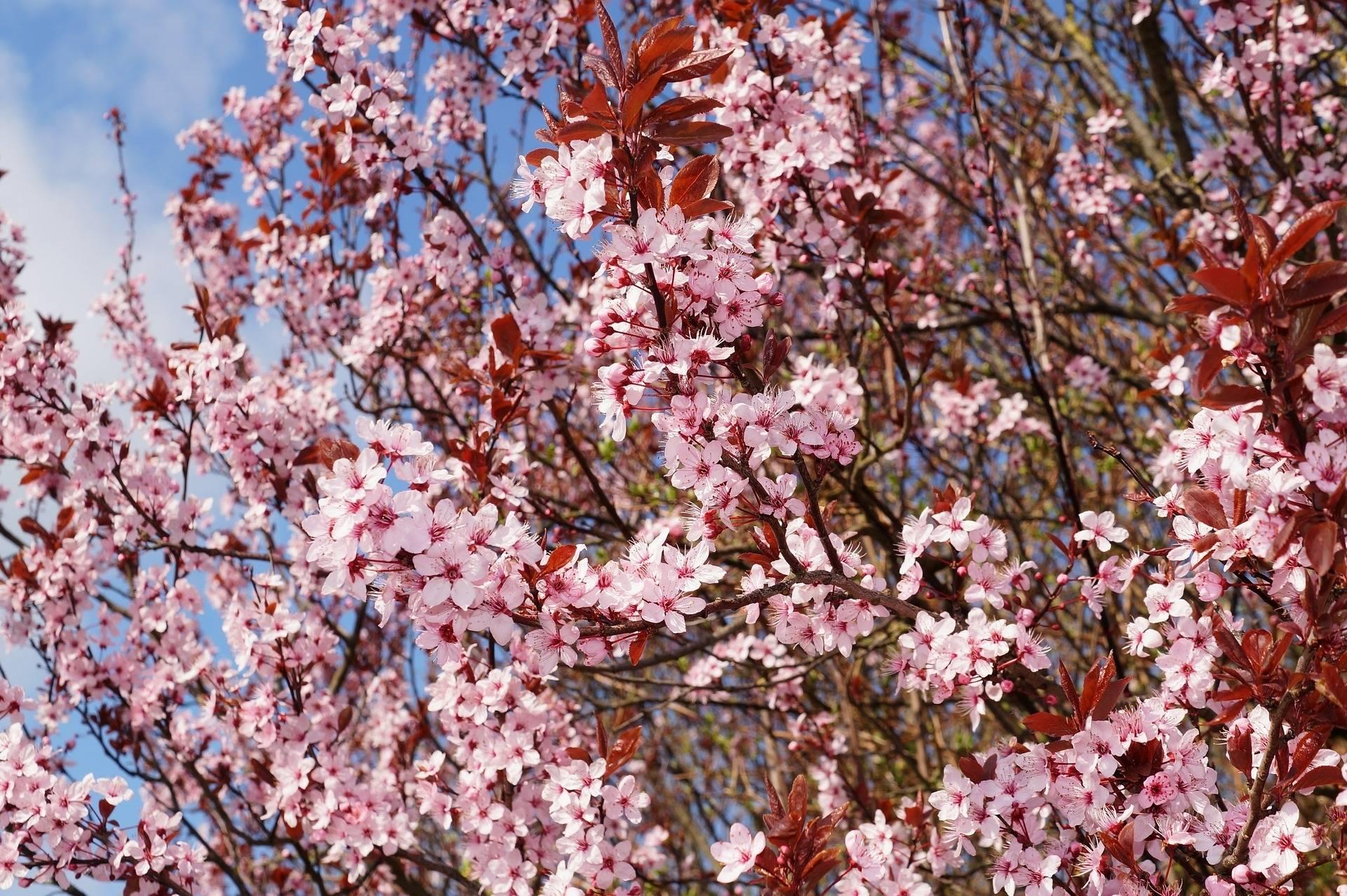 Sierkers Struikvorm Prunus cerasifera 'Nigra'
