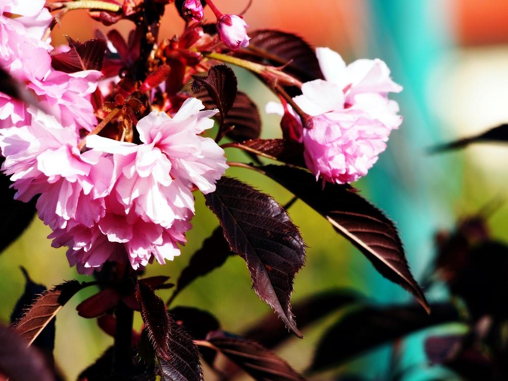 Japanse sierkers op stam Prunus serrulata 'Royal Burgundy'