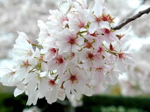 Yedo-kers op stam Prunus yedoensis stam