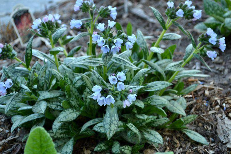 Longkruid Pulmonaria 'Opaal'
