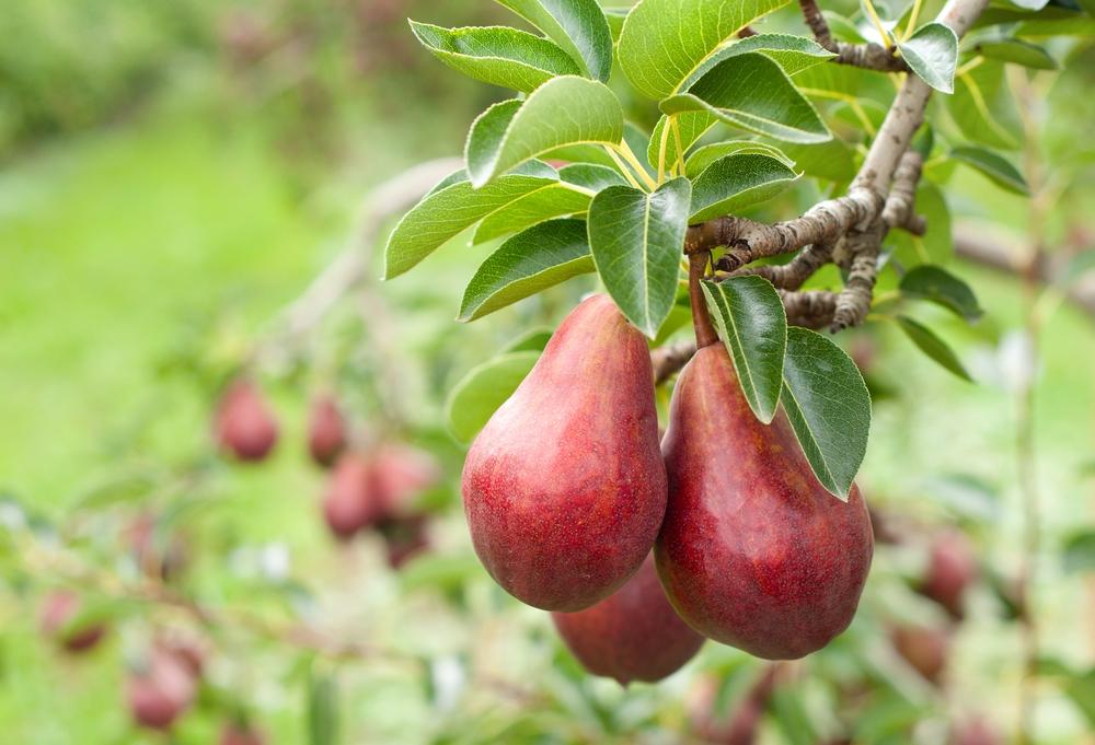 Zuil-perenboom Pyrus communis rode vrucht
