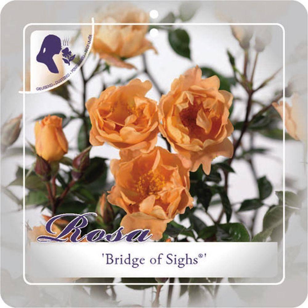 Klimroos Rosa 'Bridge of Sighs'