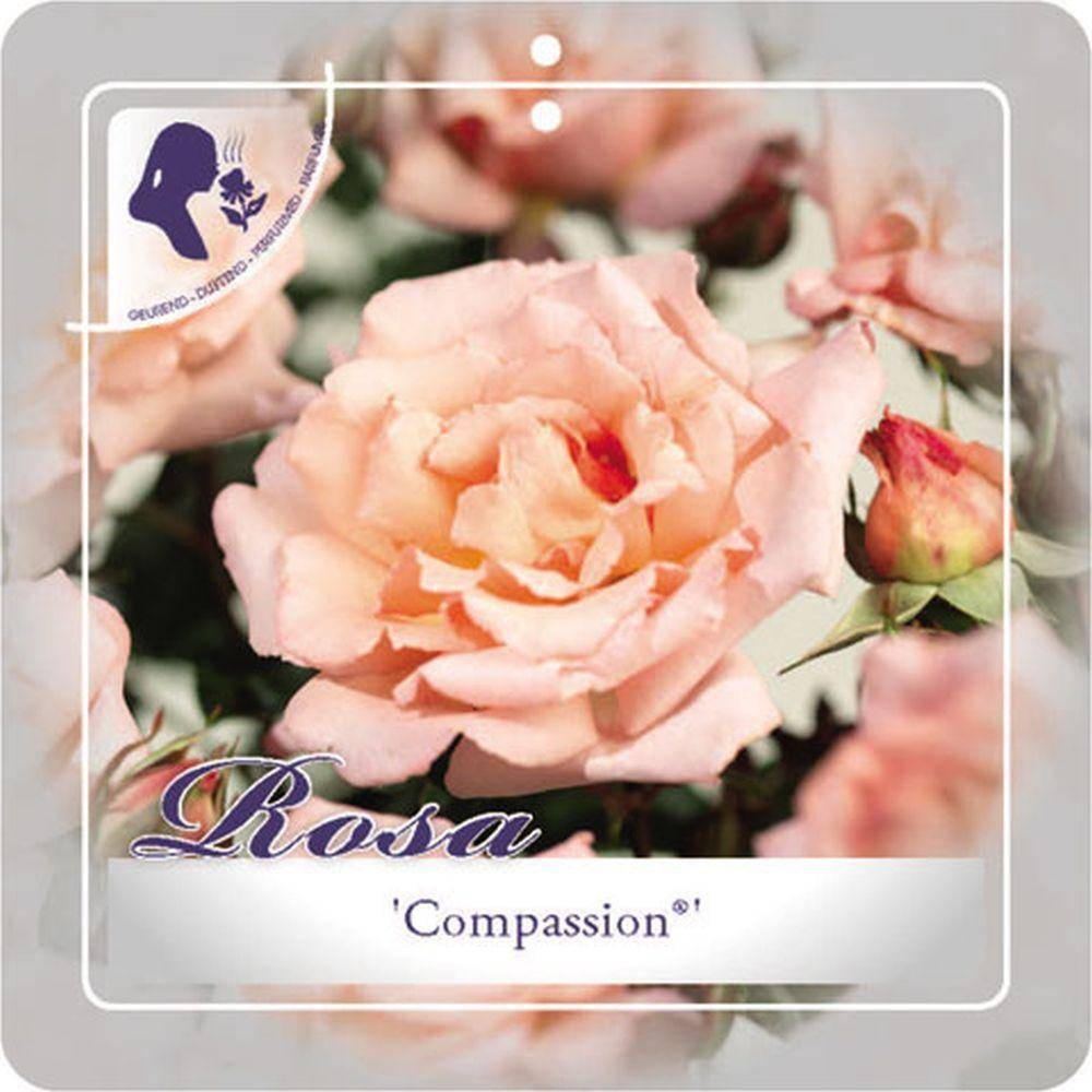 Klimroos Rosa 'Compassion'