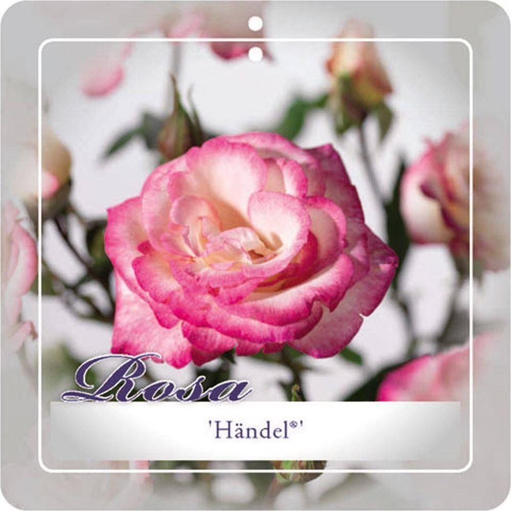 Klimroos Rosa 'Hndel'