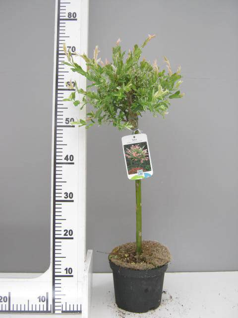 Bonte wilg op stam Salix integra 'Hakuro nishiki'