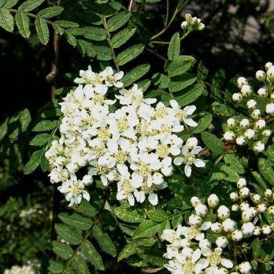 Lijsterbes op stam Sorbus koehneana stam