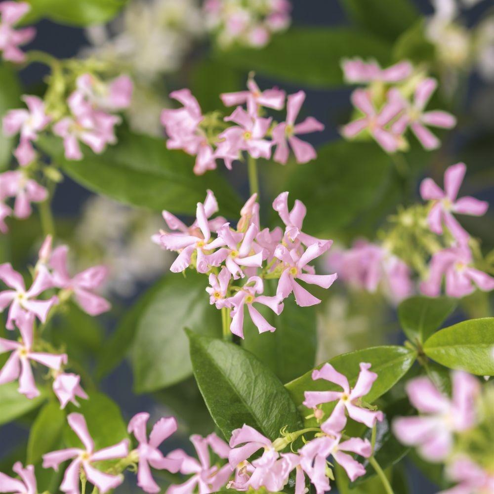 Toscaanse jasmijn Trachelospermum Pink Air