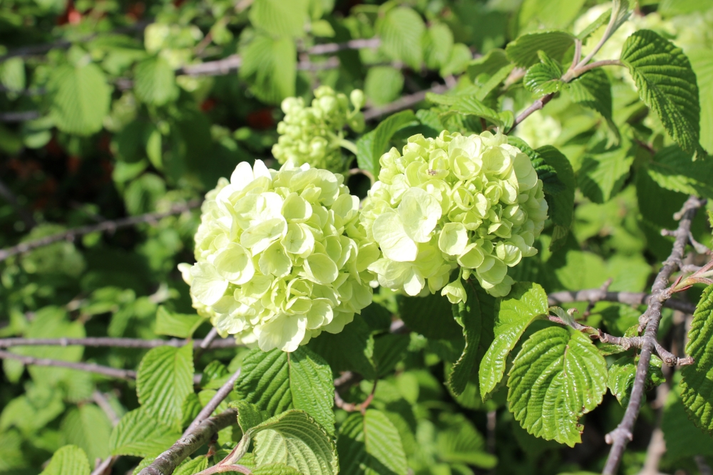 Sneeuwbal op stam Viburnum plicatum 'Popcorn'