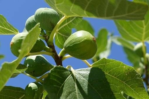 Vijgenboom op stam Ficus carica