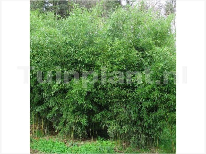 Hotei-bamboe Phyllostachys vivax