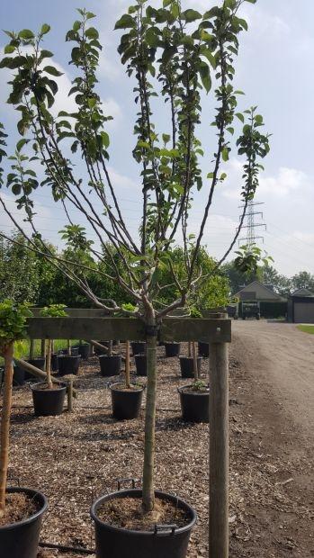 Halfstam dikke Appelboom Malus domestica 'Yellow Transparent'