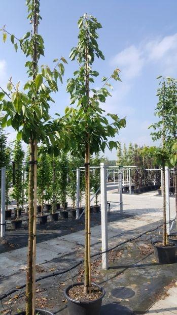 Hoogstam dikke Kersenboom Prunus avium 'Regina'
