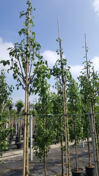 Hoogstam dikke Perenboom Pyrus pyrifolia 'Hosui'