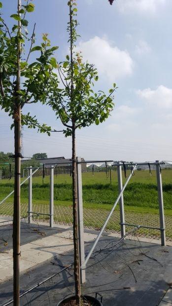 Hoogstam dikke Pruimenboom Prunus domestica 'Belle de Louvain'