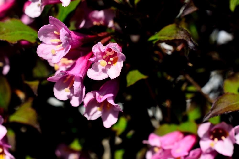 Weigela op stam Weigela florida 'Victoria'