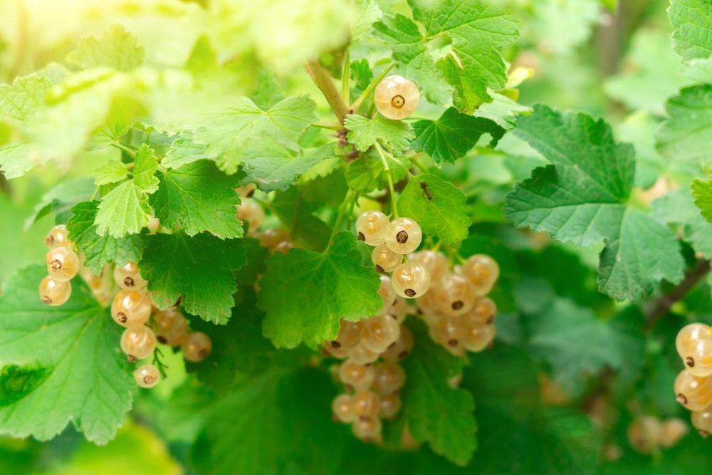 Lei Witte Bes Ribes rubrum
